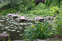Water garden pond with boardwalk dock, Iris pseudacorus (yellow flag, yellow iris, water flag)