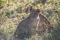 Africa, Botswana, Okavango Delta, Khwai Private Reserve. Lion cubs.