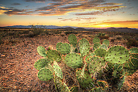 Pastel Prickly Pear Sunset - Arizona