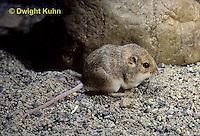 MU33-013a   Silky Pocket Mouse - Perognathus flavus