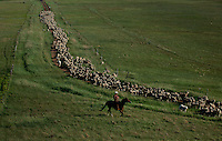 Kent Vandenburg moves 1400 sheep from one pasture to another to eat invasive leafy spurge. Vandenburg's ranch along the Heart River is controlled by sheep and flea beetles that he and his neighbors have releasedVandenburg loves having sheep. Although other ranchers say the sheep are more difficult--they get out of fences and lambing is labor-intensive, Vandenburg says he doesn't know what he'd do with all his time if he didn't ranch both. <br /> <br /> Leafy spurge can be catastrophic to grasslands for both economic and ecological reasons. It is estimated that the plant reduces the productivity of grazing land by 50 to 75 percent. It <br /> currently inhabits about three million acres of rangeland in the U.S.