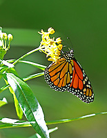Male monarch at butterfly weed