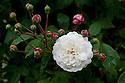 Rosa 'Felicite Perpetue', mid June.