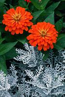 Zinnia, orange & Dusty Miller Senecio cineraria Silverdust, annual flower and foliage plant combination