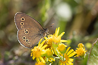 Brauner Waldvogel, Schornsteinfeger, Blütenbesuch, Nektarsuche, Aphantopus hyperantus, ringlet, Le Tristan