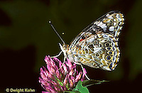 LE37-012a  Butterfly - Painted Lady Butterfly - Vanessa cardui