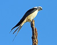 Adult swallow-tailed kite