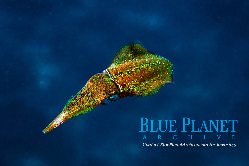 Caribbean reef squid, Sepioteuthis sepioidea, rapid color change from blue-green to golden ( 2 of 2 ), Dominica, Caribbean Sea, Atlantic Ocean