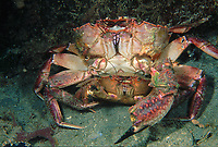 Red Swimmer Crabs, Nectocarcinus tuberculosus, Male & female, Mating, Male missing one claw and other claw damaged, Wallaroo, South Australia, Australia, Southern Ocean