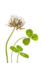 White Clover {Trifolium repens) photographed against a white background. Peak DIstrict National Park, UK. September.