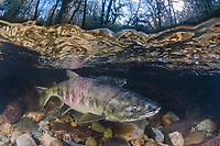 Chum Salmon, Oncorhynchus keta, aka dog salmon, Goldstream River, Vancouver Island, Canada.