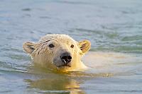 polar bear cub, Ursus maritimus, swimming, Arctic National Wildlife Refuge, Alaska, Arctic Ocean, polar bear, Ursus maritimus