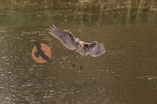 Juvenile Yellow-Crowned Night Heron taking off in flight