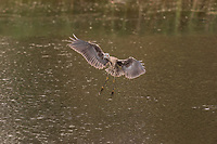 Juvenile Yellow-Crowned Night-Heron taking off in flight from water with wings outstretched and feet down