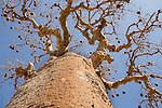 Baobab (Adansonia rubristripa) in fruit. Ifaty Spiny Forest, southern Madagascar.