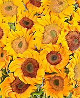 Sunflowers - Helianthus annuus 'Vincent' abstract homage to Van Gogh