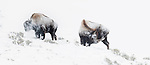 American Bison (Bison bison) in a snow storm. Hayden Valley, Yellowstone National Park, Wyoming, USA. January.