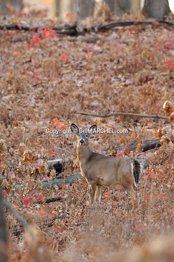 00275-192.12 White-tailed Deer (DIGITAL) button buck is in forest opening during fall.  Hunt, Hunting, prey, whitetail.  V3L1