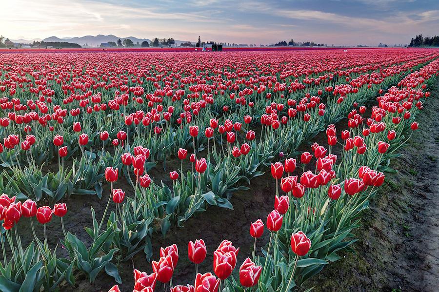 Rows of red and white tulips, Mount Vernon, Skagit Valley, Skagit County, Washington, USA