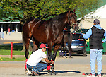 LOUISVILLE, KY - APRIL 24: Majesto (Tiznow x Unacloud, by Unaccounted For) has his legs wrapped after exercising and being bathed at Churchill Downs, Louisville, KY. Owner Grupo 7C Racing Stable, trainer Gustavo Delgado. (Photo by Mary M. Meek/Eclipse Sportswire/Getty Images)