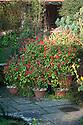 Pots of red salvia (Salvia elegans?) still flowering in the Sunk Garden at Great Dixter, late November.