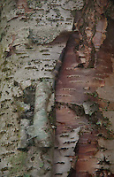 Birch Tree Detail, North Cascades National Park, Washington, US