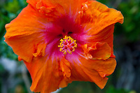 A close-up of a red-orange hibiscus in full bloom at Waikoloa, Big Island.