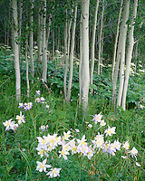 Evening light on Columbines (Aquilegia caerulea) in bloom in an aspen forest in the Flat Tops Wilderness; Routt National Forest, CO