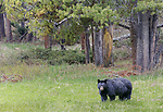 Yellowstone National Park, WY: American Black Bear (Ursus americanus) in an open meadow