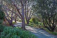 Gravel path through grove of Pinus pinea (Italian stone pine, umbrella pine, parasol pine) at Leaning Pine Arboretum, California