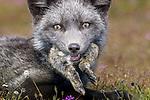 Red foxes (Vulpes vulpes), San Juan Island National Historical Park, Washington