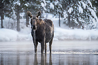 A cow moose comes up for air while feeding in Big Springs on a February evening.
