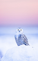 A Snowy Owl waits for the sun to set so that it can begin its hunting.