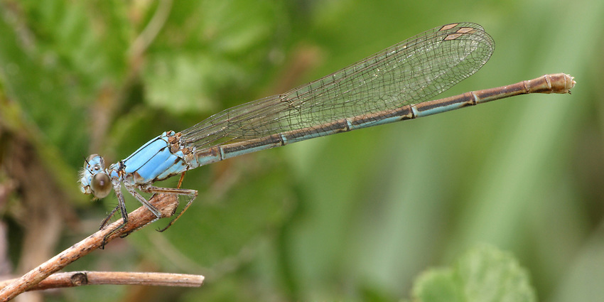 The Dancers are a group of damselflies named for their bouncy, dance-like flight.