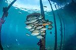 Goldenlined spinefoot and parrotfish under the Sawandarek Jetty, Raja Ampat