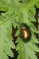 Rainfarn-Blattkäfer, Blattkäfer, Chrysolina graminis, Chrysomela graminis, leaf beetle