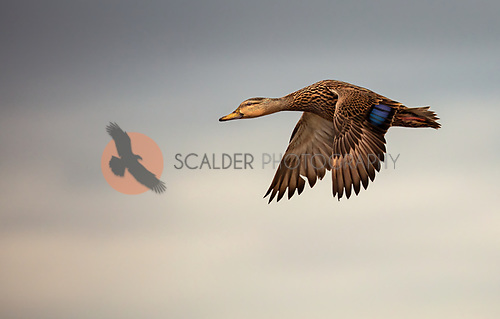Mottled Duck in flight