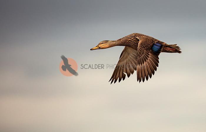 Mottled Duck in flight with wings in downstroke against cloudy sky