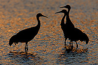 Three Sandhill Cranes (Grus canadensis) silhouetted against sunset colored water at Bosque del Apache National Wildlife Refuge, San Antonio, New Mexico.