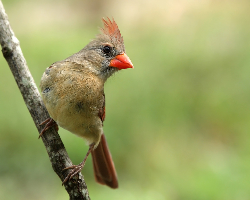 Only a few female North American songbirds sing, but the female Northern Cardinal does, and often while sitting on the nest.