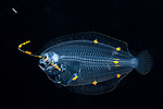 Asterorhombus sp, Long lure Larval Flounder 6-5-19-7202cr, ID 小嶋純一, Junichi KOJIMA, Japan.