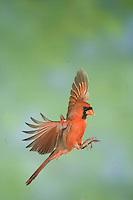 Northern Cardinal, Cardinalis cardinalis, male in flight, New Braunfels, Hill Country, Texas, USA, November 2005