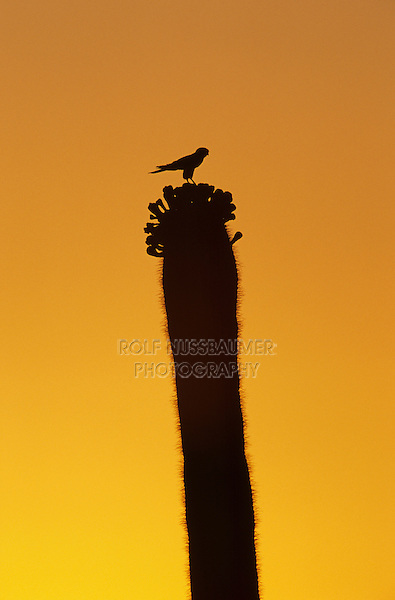 American Kestrel, Falco sparverius, adult on Saguaro Cactus at sunset, Saguaro National Park, Tucson, Arizona, USA