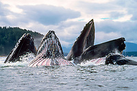 humpback whales, Megaptera novaeangliae, lunge-feeding; baleen hangs from upper jaw, throat pleats expand from lower jaw, South East Alaska, Pacific Ocean