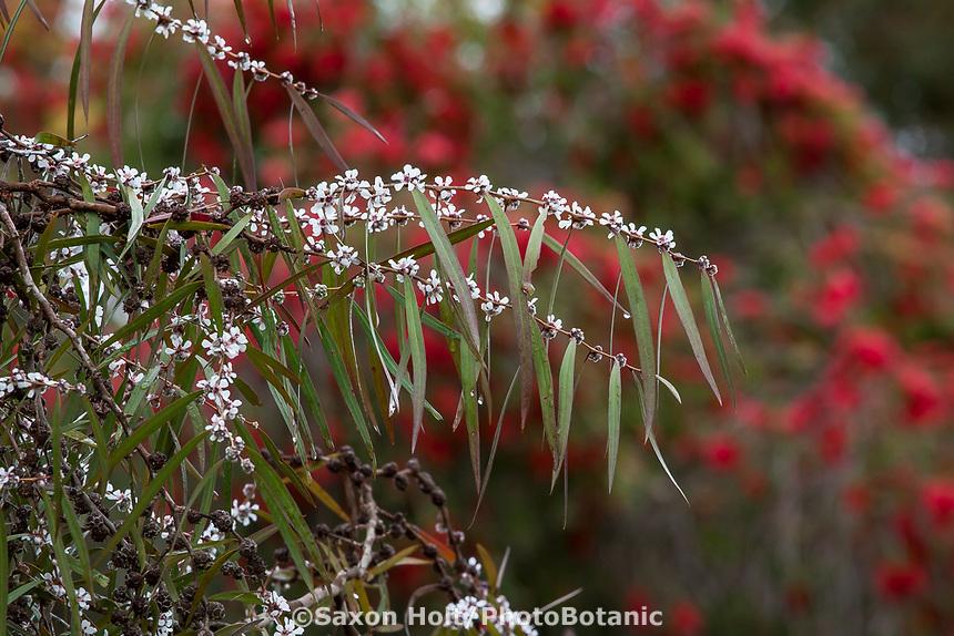 Agonis flexuosa 'Weeping Purple'  Peppermint Willow, small Australian tree flowering in UC Santa Cruz Arboretum and Botanic Garden