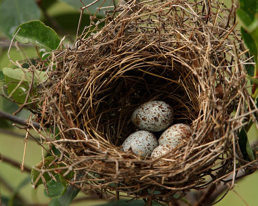 Cardinal nest in Spring.