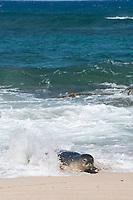 Hawaiian monk seal, Neomonachus schauinslandi, Critically Endangered endemic species, coming ashore through surf on beach at west end of Molokai, USA, Pacific Ocean