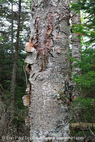 Mountain paper birch tree (Betula cordifolia regal) on the side of Caps Ridge Trail in Thompson and Meserves Purchase, New Hampshire USA.
