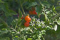 Wildtomate, Johannisbeer-Tomate, Tomate, Wild-Tomate, Rote Murmel, Lycopersicon esculentum var. pimpinellifolium, Currant Tomato