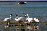 Fraser River, Steveston, BC, British Columbia, Canada - Flock of Mute Swans (Cygnus olor) along Shore